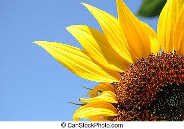 sunflower background - fresh sunflower on the blue sky...