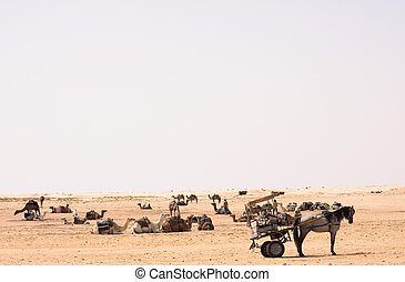 sahara - camels on the sahara in the tunisia