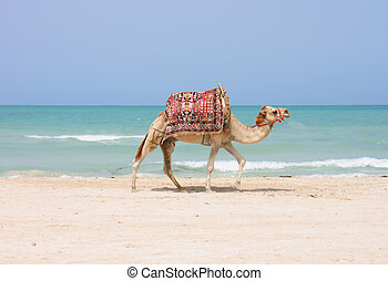 camel on the beach - camel is walking on the tunisian beach...