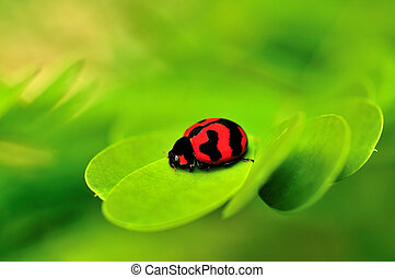 Lady Bug - Beautiful lady bug macro on a green leaf back...