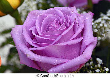 Purple Rose - Macro shot of a purple rose with dew drops