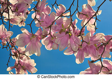 Cherry Blossoms - Fully bloomed cherry blossoms flower...