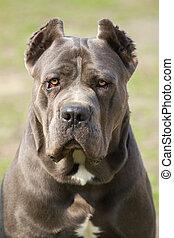 Cane corso dog - Portrait of cane corso dog