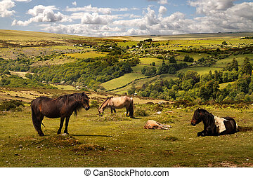 Exmoor Wild Ponies - On Exmoor can be found the oldest breed...