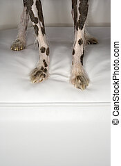 Chinese Crested dog paws - Chinese Crested dog legs and paw...