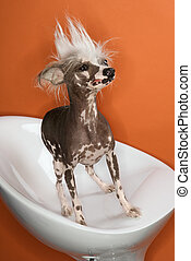 Chinese Crested dog portrait.