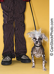 Chinese Crested dog on leash with man.