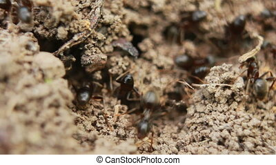 Ants - ants crawling on the ant-hill fast