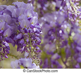 Wisteria - Purple wisteria flowers in spring