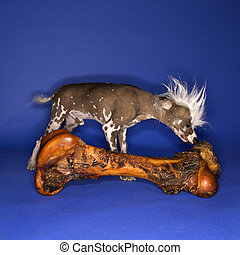 Chinese Crested dog smelling bone - Chinese Crested dog...