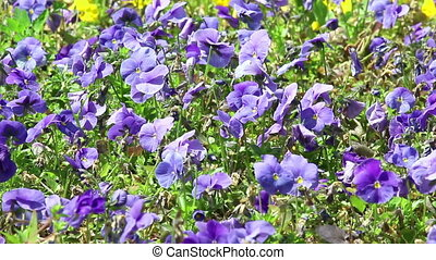 Violet flowers of pansy - Background of violet flowers of...