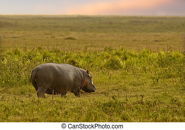 African sunrise - Hippopotamus in search of suitable grazing...