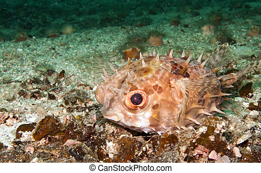 burrfish, pufferfish - a small burrfish or porcupine...