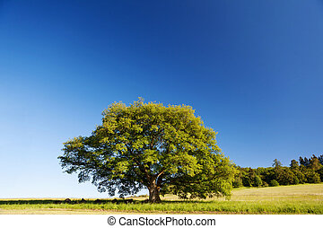 Oak tree in summer standing alone in a field against a blue...
