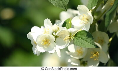 branch of jasmine - Beautiful blossoming branch of jasmine