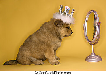 Puppy wearing crown - Puppy wearing crown in front of mirror...