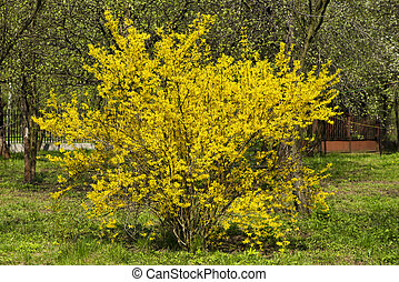 forsythia bush - wild bush blooming forsythia - yellow...