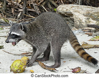 Raccoon eating a fruit on a Costa Rican beach