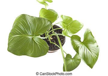 planten, binnen,  closeup