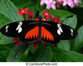 Doris Longwing Butterfly (Heliconius doris) Native to the...