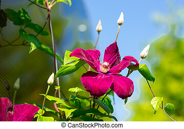 clematis - beautiful large purple clematis flower growing...