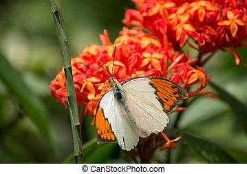 Great Orange Tip butterfly close-up - Great Orange Tip...