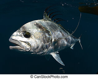 roosterfish swimming underwater in warm waters of Pacific...
