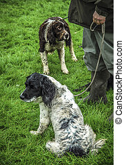 Gun Dogs - Springer spaniel gun dogs with their master in...