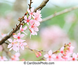 Cherry blossom - Prunus cerasoides or Cherry blossom in...