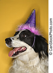 Dog wearing party hat - Black and white Border Collie mix...