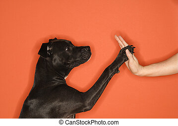 Dog giving woman high five. - Black mixed breed dog giving...