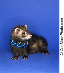 Ferret on blue wearing necklace.