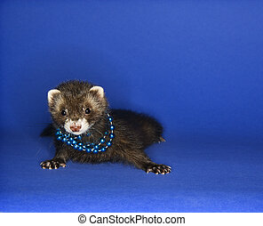 Ferret on blue wearing necklace - Portrait of brown ferret...