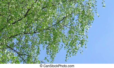 Branch of birch tree with young green leaves and blue sky...