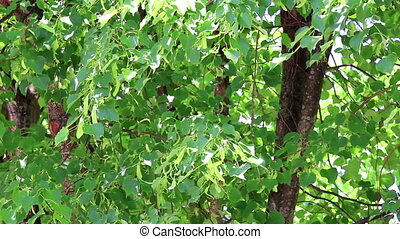 Background of linden tree branch with young green leaves and...