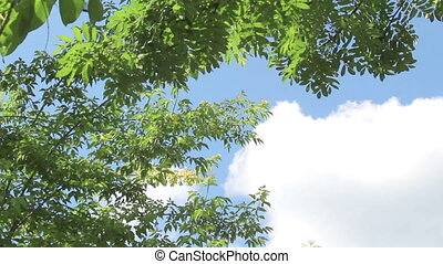 Background of branch of rowan tree with young green leaves...