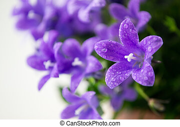 campanula or bellflowers with water drops on white