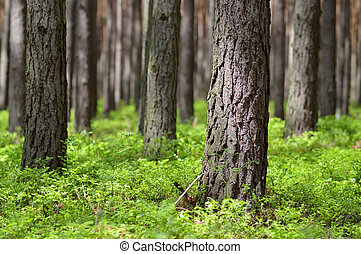 Pine forest in sunny day. Pine trunks (Pinus sylvestris) and...
