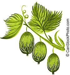 gooseberry - hand drawn, vector, illustration in Ukrainian...