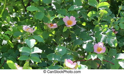 Background of branches of dog-rose