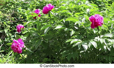 Peony with leaf and purple flower - Bush of peony with green...