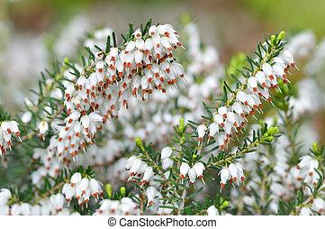 Close up of Erica carnea.White winter/spring heath - Close...