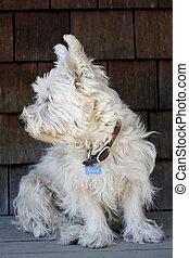 Scruffy Westie - A scruffy West Highland White Terrier in...