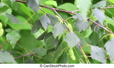 Branch of birch tree with young green leaves on light wind....