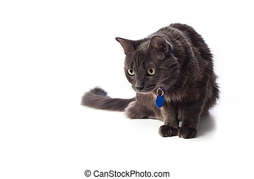 Gray Nebelung Cat Stalking - Isolated studio shot of a grey...