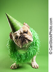 Bulldog in party hat. - English Bulldog with curious...
