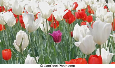 Tulips in the park - Panning  to the one purple tulip