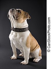 English Bulldog in spiked collar. - Sitting English Bulldog...
