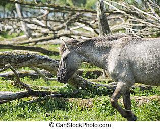 wild konink horse in dutch landscape - wild konink horse in...