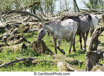 wild konink horses in dutch landscape - wild konink horses...